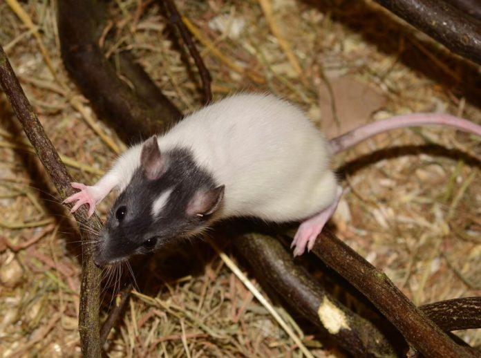 Rat Exterminator Cost Guide for 2019 | eLocal
